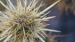 Desert cholla spines macro Stock Footage