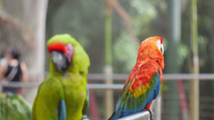 Stock Video Footage of Green Parrot & Red Parrot
