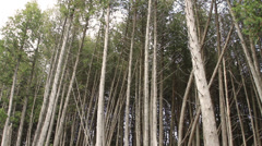 Tall Skinny Trees in the Forest - stock footage