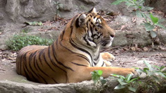Tiger resting side view Stock Footage
