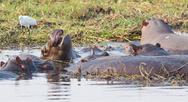 Stock Photo of Hippopotamus group