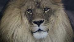 Close up of a majestic male lion staring into camera. - stock footage