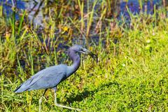heron in florida - stock photo