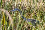 Stock Photo of heron