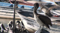 Pelicans on fishing boat Stock Footage
