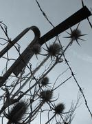 Brown spiny thorns in front of a old rusty fence.  Stock Photos