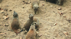 Above mid shot of meercats playing Stock Footage