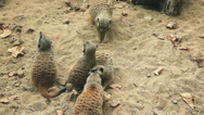 Stock Video Footage of Above mid shot of meercats playing