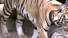 Tiger at zoo Stock Footage