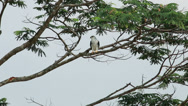 Stock Video Footage of Black Shouldered Kite 06