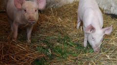 Piglets in pigsty Stock Footage