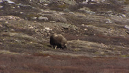 Stock Video Footage of Musk ox, Ovibos moschatus, grazing in rough mountain scenery + zoom out