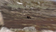 Stock Video Footage of Musk ox, Ovibos moschatus, grazing in rough mountain scenery + zoom in/out