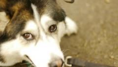 Old Malamute Husky lying down, chilling, notices and looks at camera Stock Footage