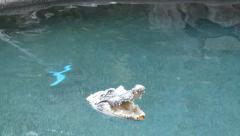 Floating Crocodile Toy Stock Footage