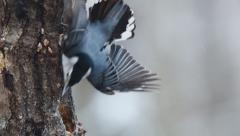 White-breasted Nuthatch Stock Footage