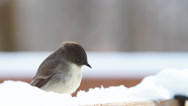 Stock Video Footage of Eastern Phoebe