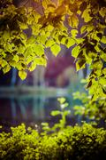 Stock Photo of green leaves with sun beans in summer, poland.