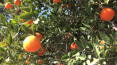 Orange Tree in Sunshine Stock Footage