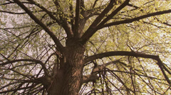 Old oak in Chernobyl alienation zone Stock Footage