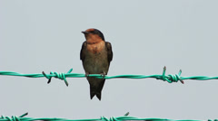 Swallow On The Fence 1 Stock Footage