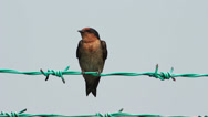 Stock Video Footage of Swallow On The Fence 1