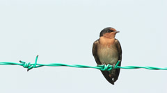 Swallow On The Fence 2 - stock footage