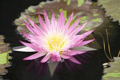 Duke water gardens lillypads flowers - stock photo