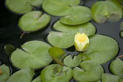 Duke water gardens lillypads - stock photo