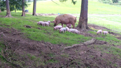 Large family of pigs. Stock Footage