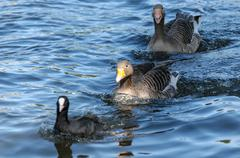 two gooses in a water with a bird - stock photo
