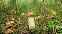 Beautiful and little cep in the forest Stock Footage
