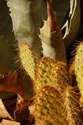 Red spined prickly pear opuntia, agave and other cactus Stock Photos