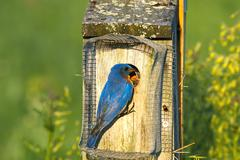 Eastern bluebird feeding Stock Photos