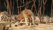 Stock Video Footage of Red Kangaroo
