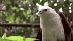 Brahminy kite bird flexing Stock Footage