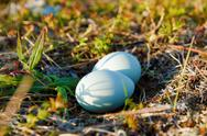 Stock Photo of blue eggs in the wild