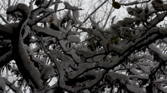 Snowy branches. Stock Footage