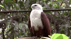 Brahminy kite bird on tree branch Stock Footage