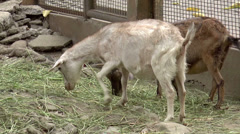Herd of goat Stock Footage