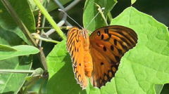 Butterfly Shaking Wings - stock footage