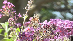 Butterfly and Bee - stock footage