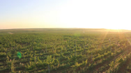Grape field at sunrise. aerial shot Stock Footage