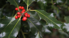 Holly. Stock Footage