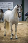 spanish horse of pure race taking part during an exercise of equestrian morph - stock photo