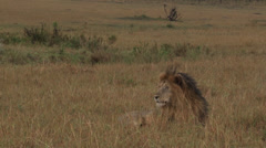 Lion ( panthera leo) Stock Footage