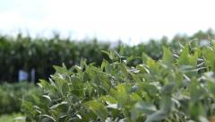 SOJA 3 soybean Stock Footage