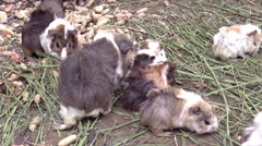 Guinea pigs eating Stock Footage