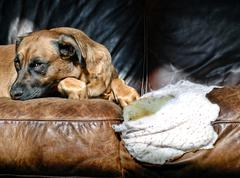 Bad Dog Sitting on a Chewed-Up Leather Sofa Stock Photos