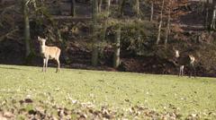 Female deer in Eifel, Germany - stock footage